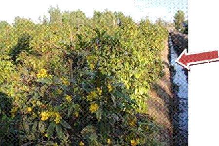 Chám sóc cây mai vàng 09
